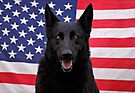 Black German Shepherd - U.S.A. by Sandy Keeton