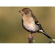 Fringilla Coelebs - Common Chaffinch (female) Photographic Print