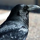 Rio Puerco Raven by Chris Clarke