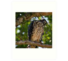 Juvenile Peregrine Falcon or Red Shouldered Hawk? Art Print
