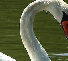 Mute Swan by babsbini