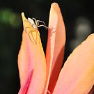 Canna with Spider by Julie Sherlock