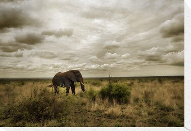 Lone Bull by Philip James Filia