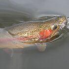 Rainbow rising by wildfish