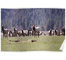 Herd of Elk Poster