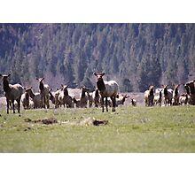 Herd of Elk Photographic Print