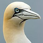 Atlantic Gannet by Stuart Robertson Reynolds