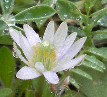 Windflower's Watery Crown by Navigator