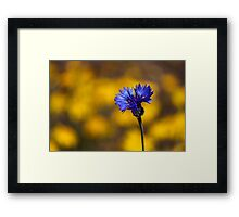 Blue Bachelor Button On Gold Framed Print