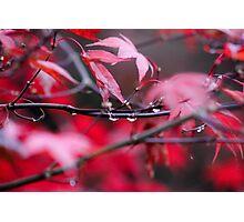 Acer tree Photographic Print