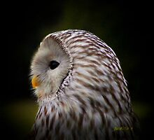 Owl in the Spotlight by JudithE
