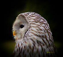 Owl in the Spotlight by JudithE