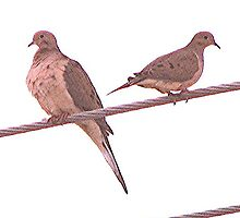 Winter Doves on a Wire by drumsandkeys