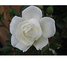 White rose on dark background Photographic Print