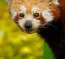 Red Panda by Rick Bowden