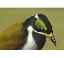 Blue-faced Honeyeater Photographic Print
