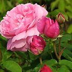 Pretty Pink Rose With Buds - Hyde Hall by BlueMoonRose