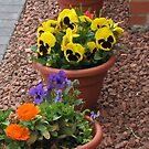 Colourful Pansies by BlueMoonRose
