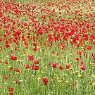Poppy Fields Forever by taiche