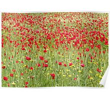 Meadow With Beautiful Bright Red Poppy Flowers Poster