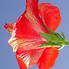 Side View of Scarlet Red Hibiscus In Bright Light by taiche