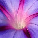 Morning Glory in Macro by taiche