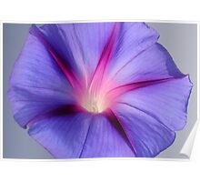 Close Up of A Morning Glory Purple and Pink Flower Poster