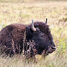Young Bison by Teresa Zieba