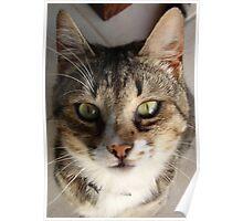 Tabby Cat Kitten Giving Eye Contact Poster