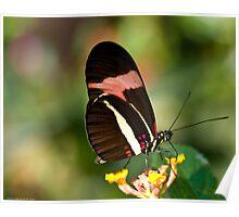 brazilian butterfly Poster