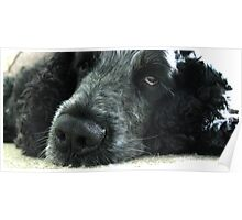 Spaniels Eyes - Blue Roan Cocker Spaniel Poster