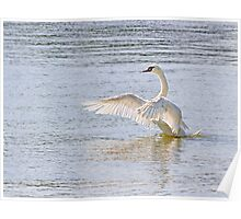Swan Flapping Wings on Water Poster