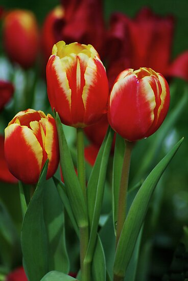 Three Tulips by harborhouse55