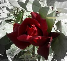 photoj Flora- A Rose With A Difference! by photoj