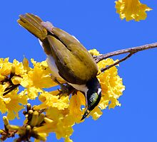 Blue Cheeked Honeyeater taken Bellingen NSW. by Alwyn Simple