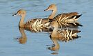 Plumed Whistling Ducks by Alwyn Simple