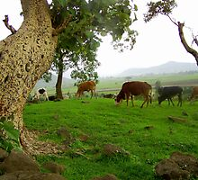 Cows Framed by an Old Tree by Laurel Talabere