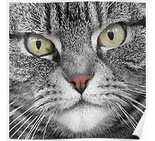Silver Tabby Poster