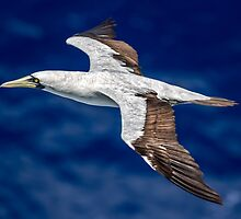 Frigate Bird by Sandra Anderson