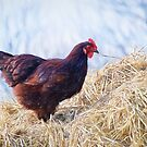 Chicken In The Straw ~ Impressions by Susie Peek
