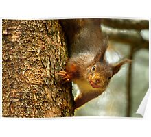 Cheeky Red Squirrel Poster