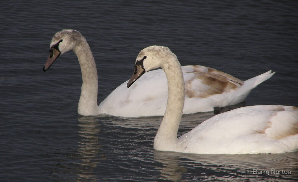Young Swans at Fairhaven by Barry Norton