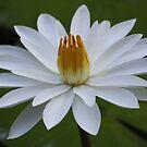 Fiji Lotus by Kelly Robinson