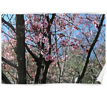 Nature - Cherry Blossoms Poster