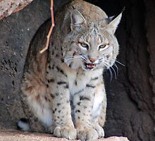 Mr Bobcat  by Judy Grant