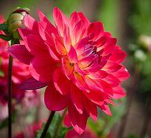 Dahlia Flower by Carolyn Eaton
