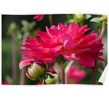 Pink Dahlia and Bud Poster