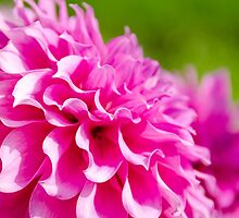 Pink Frilly Dahlia by Carolyn Eaton