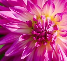 Spiky Pink Dahlia by Carolyn Eaton