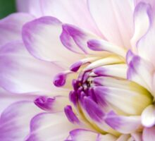 Soft Purple and White Dahlia Sticker